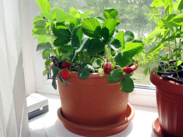 Условия выращивание клубники зимой