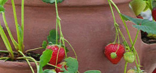 Клубника с зрелыми плодами в горшке