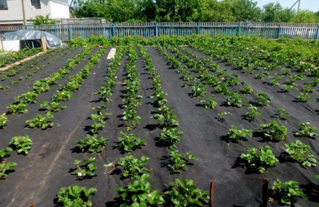 Ровные ряды садовой клубники