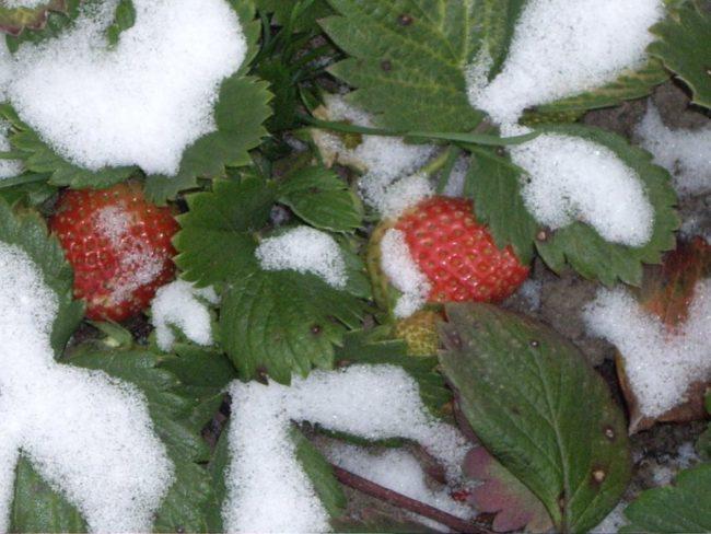 Плоды клубники под первым снегом