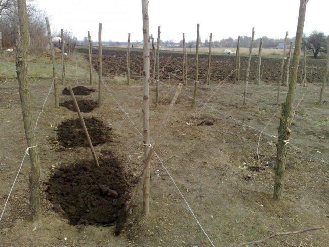 Копка посадочных ям для осенней посадки малины Солнышко
