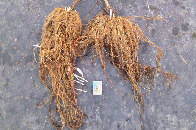 Саженцы малины ремонтантной с мощной корневой системой