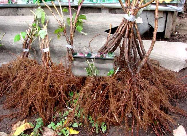 Хорошо развитая полноценная корневая система саженцев малины сорта Херитейдж