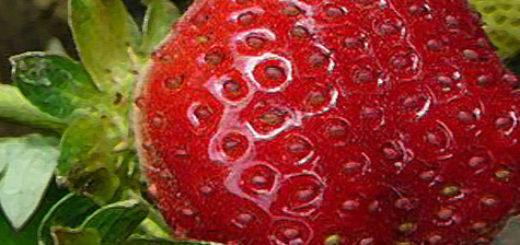 Плод клубники Королева Елизаветта