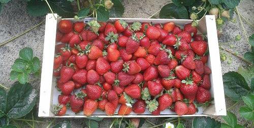 Корзинка с собранными ягодами сорта Монтерей