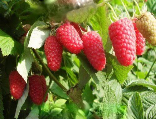 Конусовидные плоды не ремонтантной малины краса России