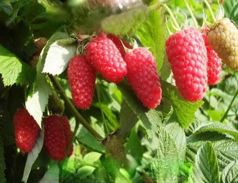 Описание сорта малины Краса России: отзывы, фото