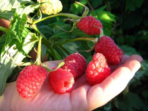 Горстка крупных спелых ягод на ладони садовника
