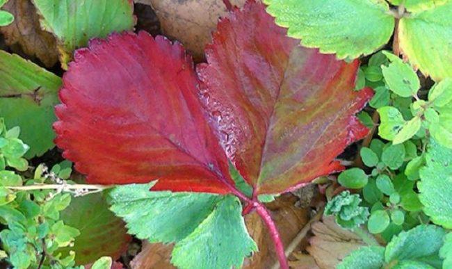 Красно-бордовый лист садовой клубники