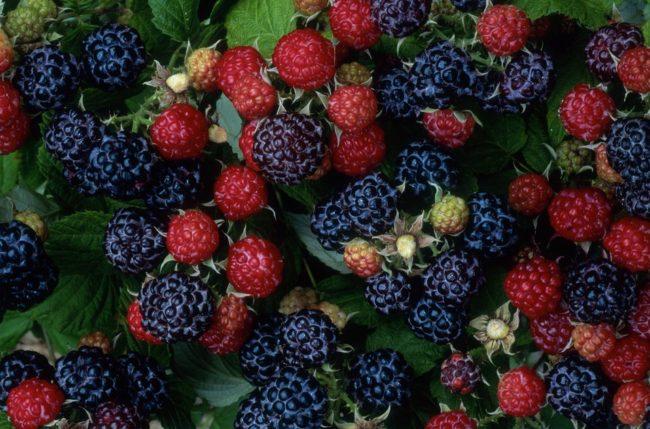 Красные и чёрные ягоды малины сорта кумберленд