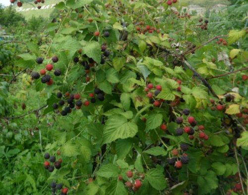 Куст малины сорта кумберленд