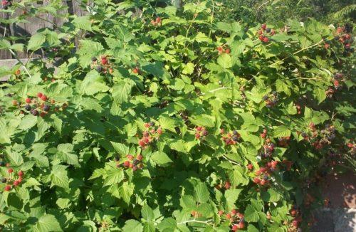 Растущий куст малины сорта кумберленд