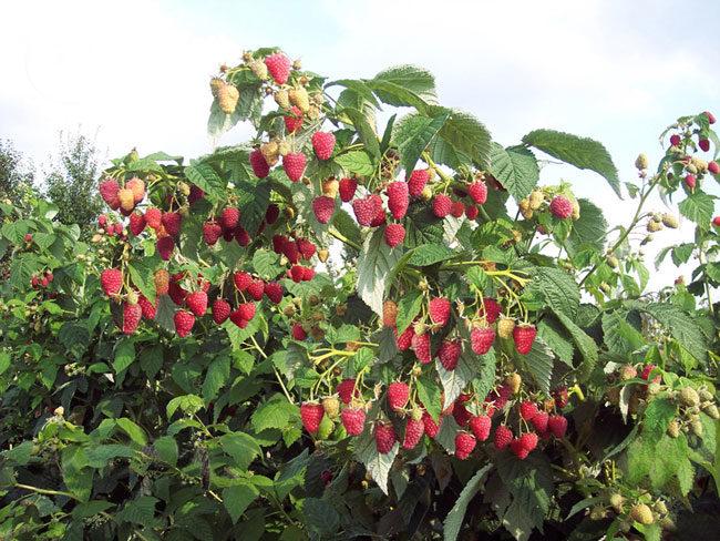 Куст с ягодами малины и голубое небо