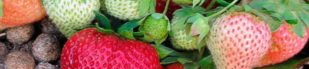 Спелые и зелёные плоды на кусте клубники сорта лорд