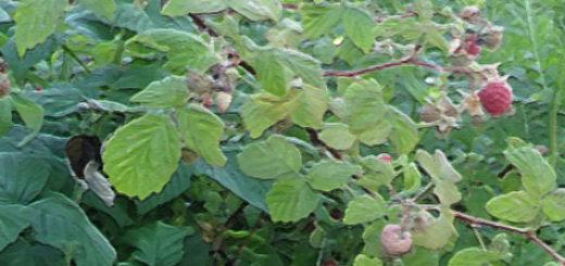 Куст малины в Подмосковье