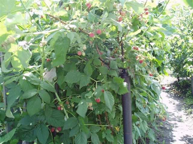 Закрепленные на шпалере ветки малины и ягоды на них