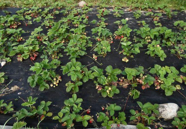 Посадка садовой клубники по современной технологии с использованием нетканого материала для мульчирования поверхности земли