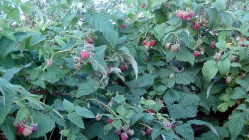 Кусты малины Солнышко с назревающими ягодами