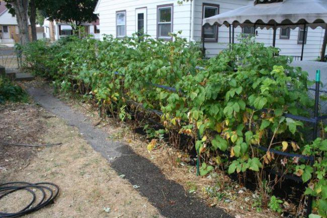 Кусты малины в саду у домика