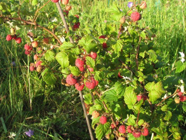 Спелые и крупные ягоды малины на прямых и крепких ветках