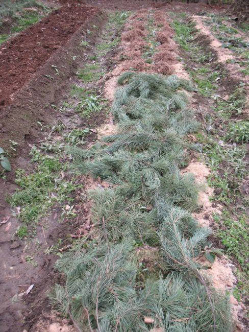 Гряда клубники под еловым лапником
