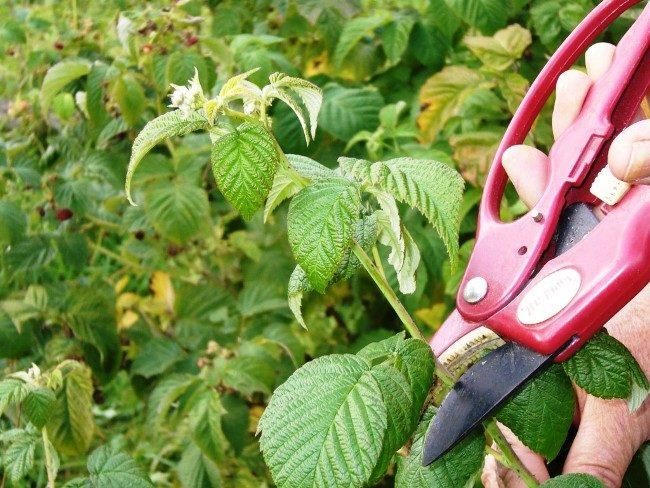 Летняя обрезка малины Сказка на садовом участке