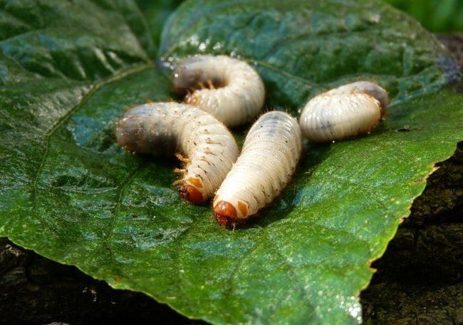 Личинки майского жука на листе