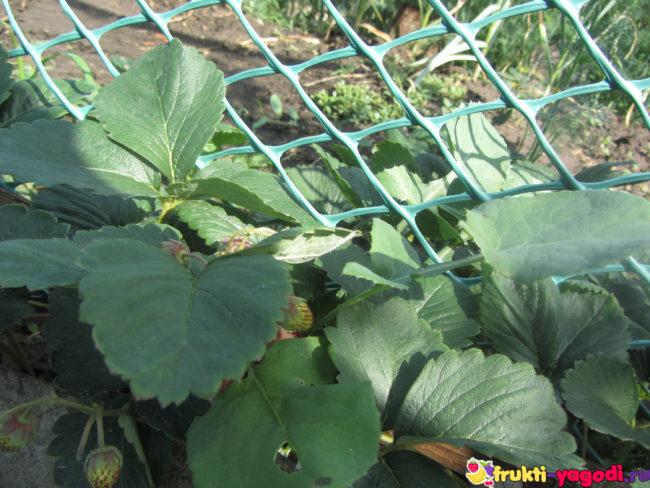 Здоровые листья ремонтантной клубники в саду