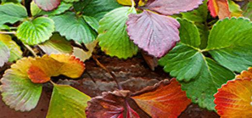 Покрасневшие листья клубники на грядке
