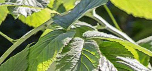 Листья малины Карамелька вблизи