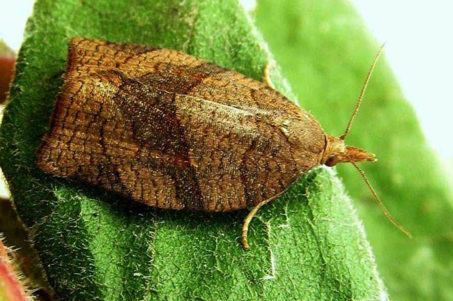 Небольшая бабочка листовертка на листочке клубники