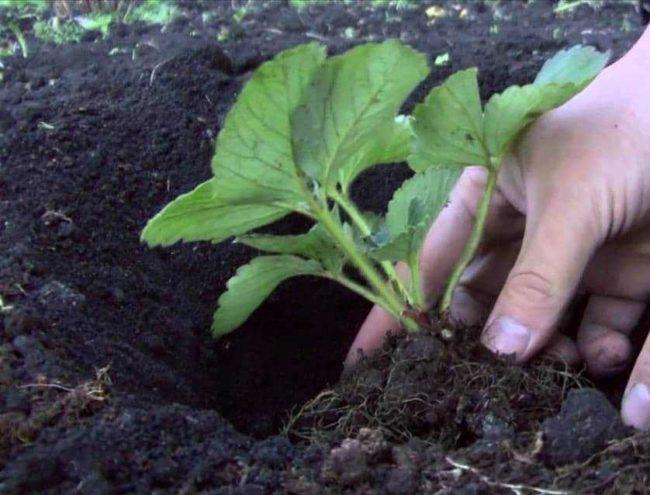Посадка в лунку клубнику в саду