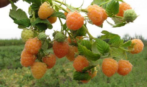 Ветка малины с желтыми ягодами