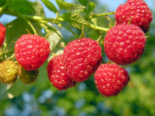"""Кисть спелых ягод малины сорта """"Августовское чудо"""""""