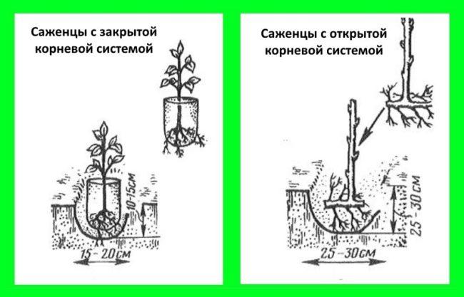 Правила посадки саженцев малины с открытой и закрытой корневыми системами