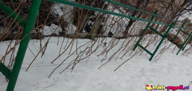 Сорт малины зимует без укрытия на заднем фоне снег