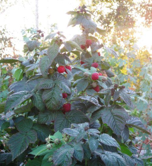 Высокий куст малины сорта Брусвяна