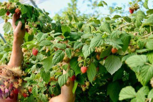 Сбор ягод с толстых веток малины Брусвяна