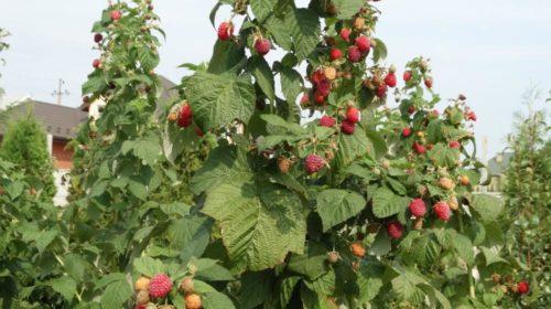 Ветка малины с плотно размещенными ягодами