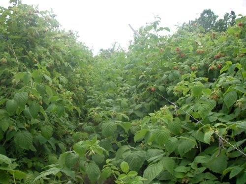 Малина сорта Брусвяна за несколько лет может образовать плотные посадки
