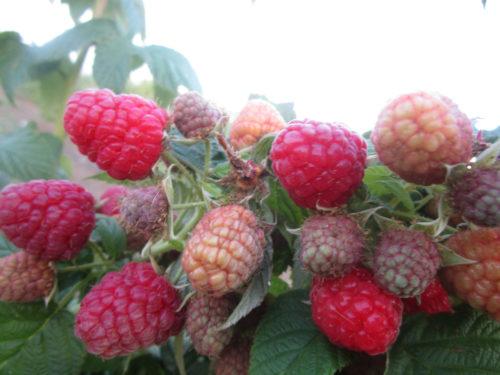 Веточка малины, усыпанная ярко-красными ягодами