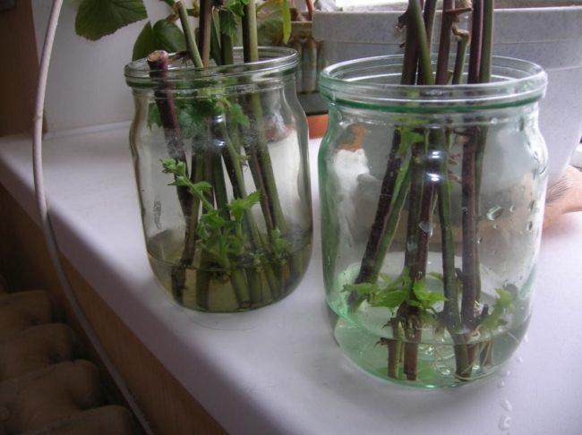 Проросшие черенки малины в стеклянных банках с водой