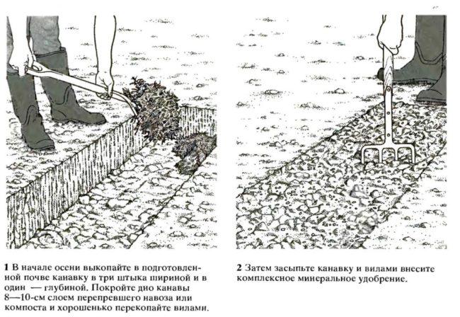 Схема подготовки посадочной траншеи для осенней высадки малины Брусвяна