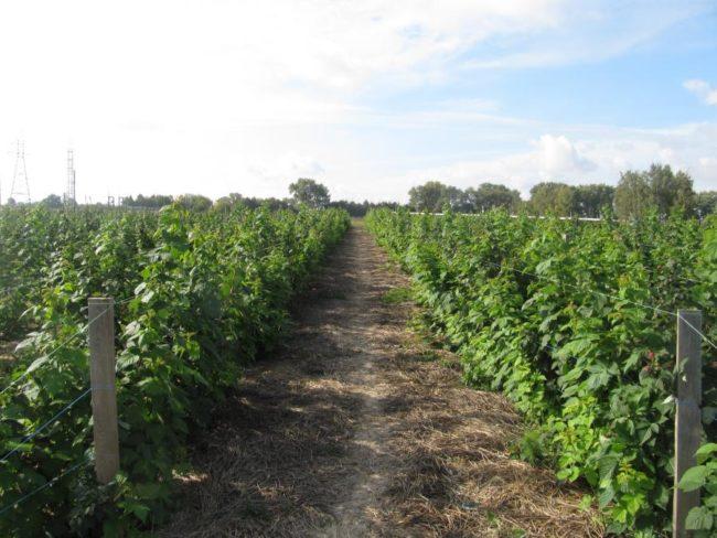 Длинные ряды с растущими кустами малины Брусвяна и мульчирование междурядий соломой