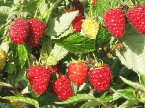 Спелые ягоды ремонтантной малины сорта Геракл