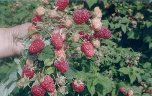 Стебли малины Геракл со спелыми плодами