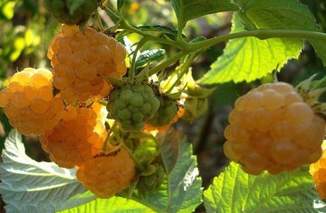 Ягоды малины сорта Голден Куин