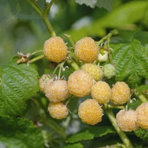 Крупные ягоды малины золотисто-желтого оттенка