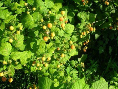Среднерослый куст желтоплодной малины годен куин
