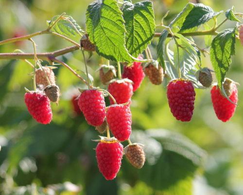Слегка кисловатые ягоды сорта Гусар